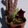 Huernia_arabica_1784341_8181_t