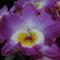 Dendrobium nobile hybrid 'Akatsuki' 2