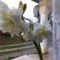Hófehér amarilisz