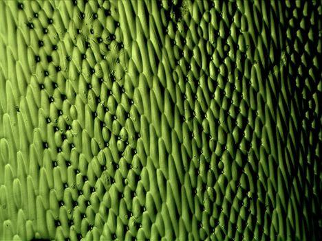 Zöldike (1)