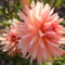 A kis kertem virágai 010