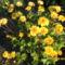 A kis kertem virágai 012