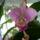 Cattleya_hibrid_1796615_6955_t