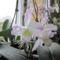 Dendrobium Nobile egy gyökeres virágban