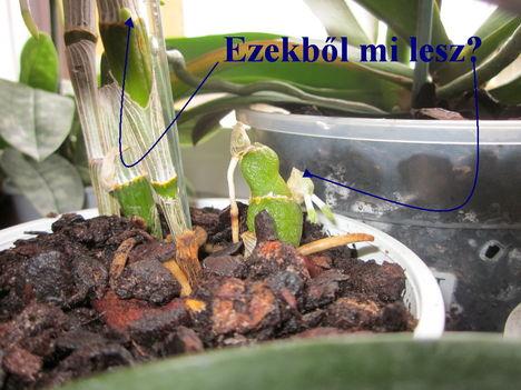 Dendrobium Nobile hajtások