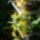 Oncidium_hibrid_1796619_6084_t