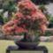 bonsai-fa-3