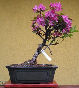 MALUS, DÍSZ ALMA bonsai