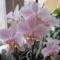 Phalaenopsis Wiganiae virágban