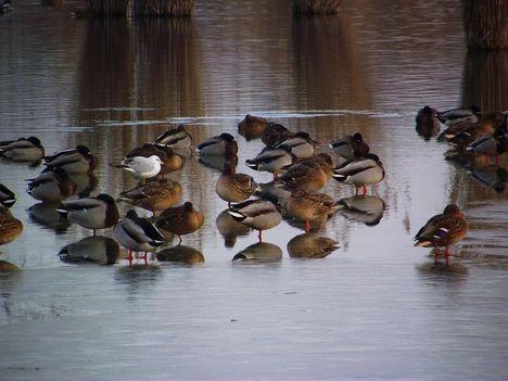 Bujtosi tó tőkés récék sirállyal