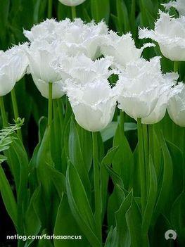 Fodros fehér tulipánok