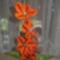 Horgolt virágaim 005