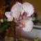 Orhidea