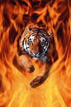 tigris lángtengerben