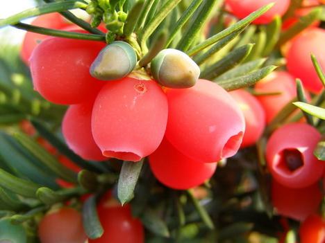 Tiszafa termése