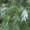 800px-Salix_alba_leaves
