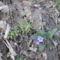 a bakonyi erdő alján ? kis kék virág