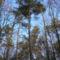bakonyi fák alulnézetből