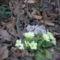 virit a primula a bakonyi erdő alján