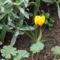 Megjelent az első virág a kertemben.  Krókusz.