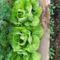 Korai zöldségfélék