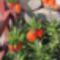 Császárkorona - Fritillaria imperialis