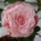 Kamélia virágja.