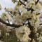Szilvafa virágzás