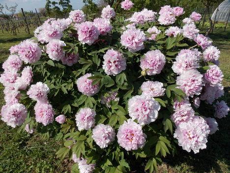 Fás pünkösdi rózsa II.