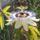 Kék Golgotavirág (Passiflora caerulea)