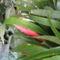 bókoló bilbergia1