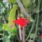 epifita kaktusz