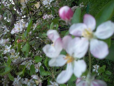 almafa virágzás