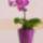 Mandy orchideái