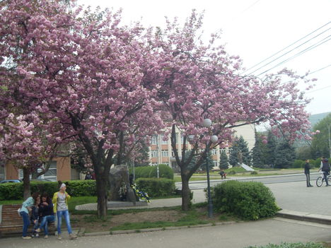 szakura virágzás