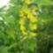 sárga akác II