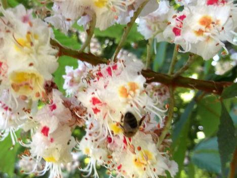 Andonika : Virágzik a gesztenye