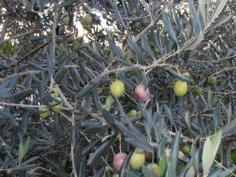 oliva vagy olajfa