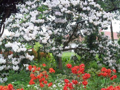 Szemet gyönyörködtető rododentró