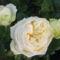 Elfe  rózsa erősen illatos, csontszínű.