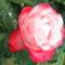 Nostalgie rózsa