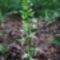 Kétlevelű sarkvirág (Platanthera bifolia)