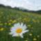 margaréta virág