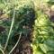 Tavasz a zöldséges kertben
