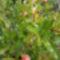 Gránát alma bokrok bimbóba. 1