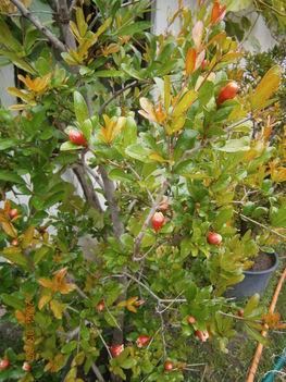 Gránát alma bokrok bimbóba. 2