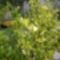Gránát alma bokrok bimbóba. 3