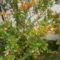 Gránát alma bokrok bimbóba. 4