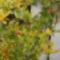 Gránát alma bokrok bimbóba. 6
