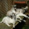 Lujzi kecske 4-es ikrei a Berényben, 1 hónaposan